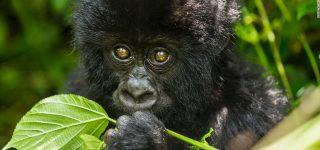 Mountain Gorillas in Virunga
