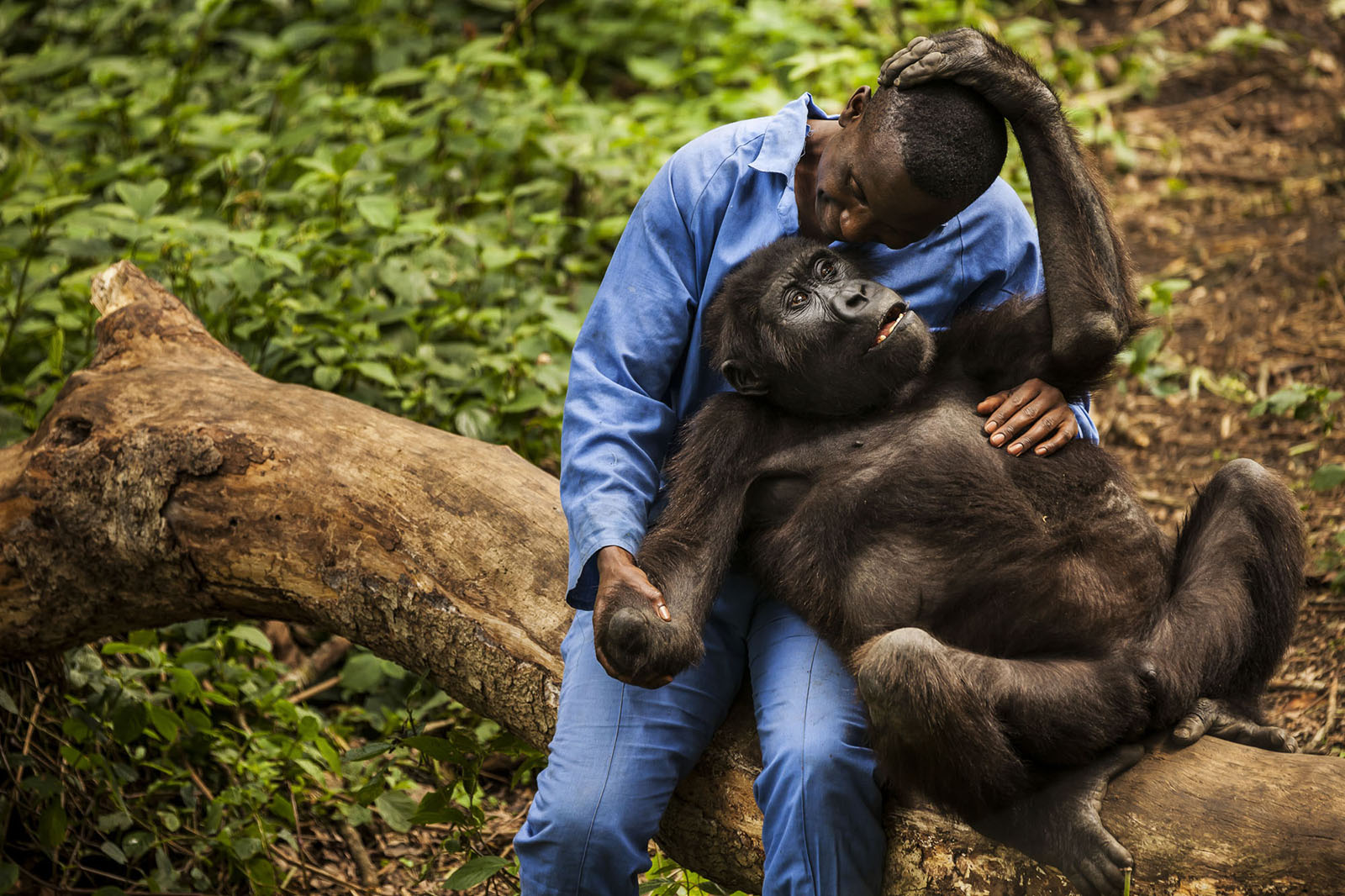 8 days mountaineering Congo safari with gorillas in Virunga national park and Volcanoes national park