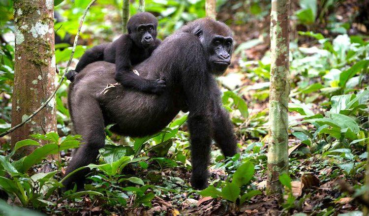 5 Days Nyiragongo Hike & Double Gorilla Trekking