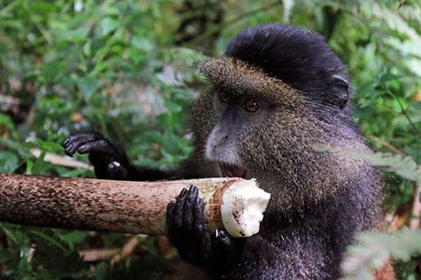 Golden Monkey Trekking in VirungaNational Park