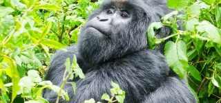 Gorilla Trekking in Mgahinga National Park