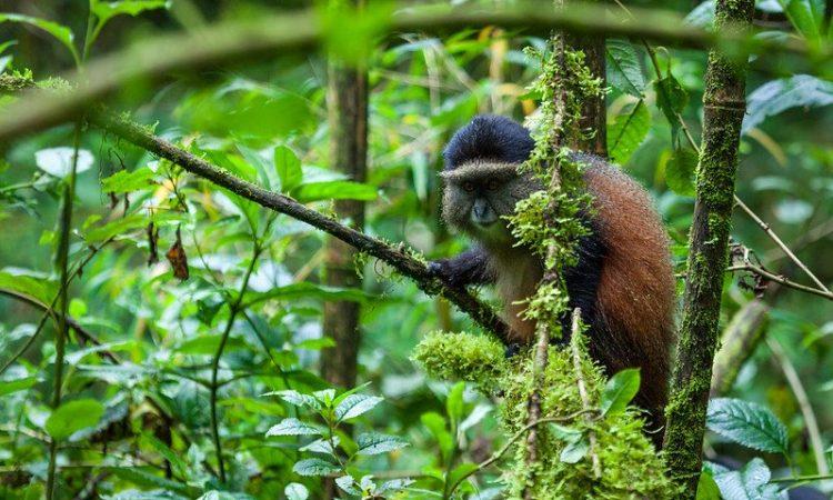 Golden Monkey Trekking in Rwanda