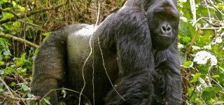 9 Days Best of Congo & Rwanda