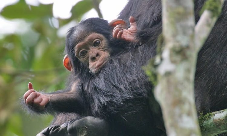 Chimpanzee trekking in Nyungwe forest park