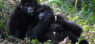 3 Days mountain gorilla habituation safari