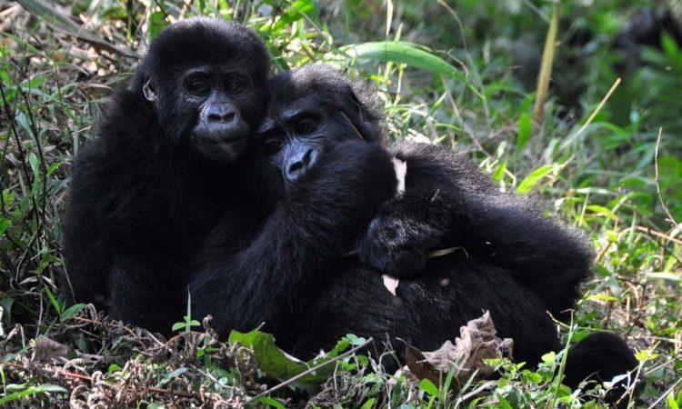 3 Days mountain gorilla habituation safari