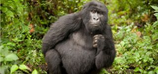 5 Days Nyiragongo Double night & Virunga gorilla trekking safari