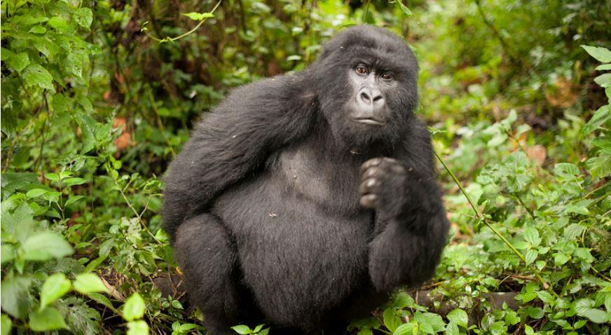 11 days Virunga national park, Mount Nyiragongo, Kahuzi Biega national park, Akagera national park